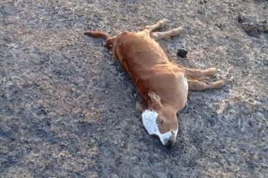 Un ternero muerto en la localidad de El Pontón, Corrientes