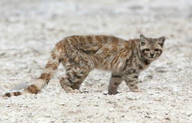 El gato andino es el felino más amenazado del continente, según los especialistas en fauna silvestre.