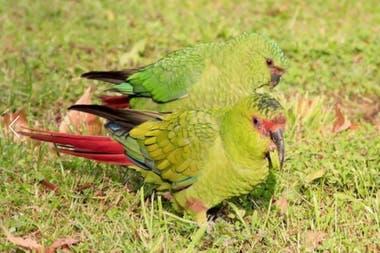 La especie llamada choroy habita en Chile. En nuestro país, existe un ave parecida llamada cachaña