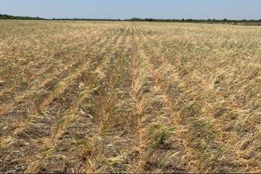 Tucumán perdió más del 80% del trigo