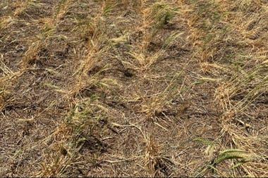 Así está el trigo en el norte del país