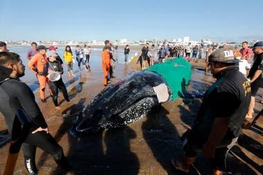 Siguen las tareas para rescatar a la ballena encallada en Punta Mogotes