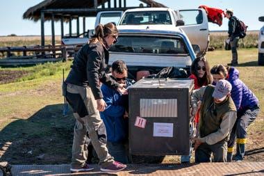 El equipo de Kristine traslada a Alondra, el ejemplar hembra de lobo gargantilla en el Parque Nacional Iberá, en la provincia de Corrientes