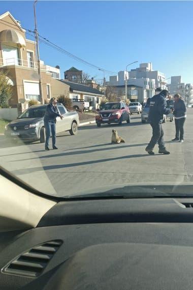 Un lobo marino fue filmado y fotografiado sobre la calle Rawson