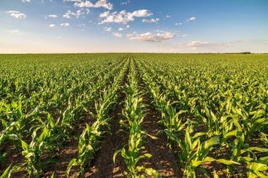 El Gobierno no informó aun la forma que se implementará el cupo de 30 mil toneladas diarias de maíz