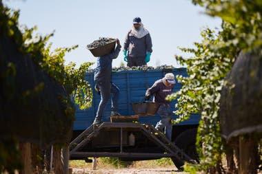 El objetivo es que se pueda hacer la cosecha con trabajadores de la provincia ante las dificultades que lleguen desde otras regiones