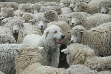 """Los productores crían una especie de """"perros protectores"""" para cuidar a las ovejas"""