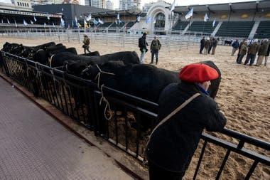 Preparativos de los animales en la Exposición Rural