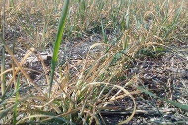 Entre Inriville y Monte Buey, Córdoba, un trigo afectado por la falta de lluvias y heladas