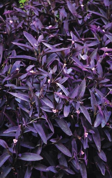 Tradescantia pallida 'Purpurea'