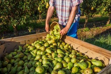 Aproximadamente 25.000 trabajadores golondrinas se desplazan hacia el Alto Valle para la recolección de peras y manzanas