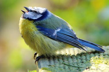 El herrerillo es un pájaro común en Europa, y se encuentra en jardines y parques