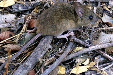 Son algunas especies de roedores los que transmiten la enfermedad; en Argentina, el ratón colilargo de la foto