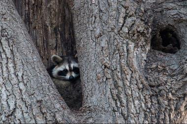 Un mapache escondido en un árbol en Orchard Beach