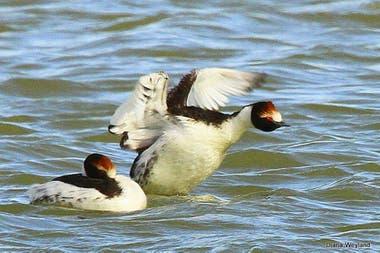 El ave, en peligro de extinción, habita en lagunas de Santa Cruz