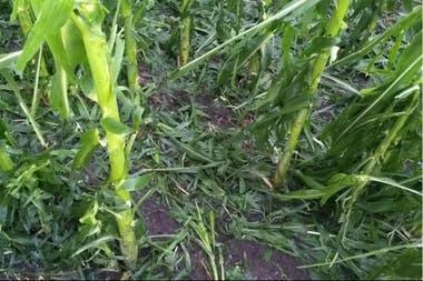 Lote de maíz dañado en Crespo, Entre Ríos