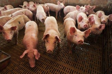 La Argentina hoy produce unas 750.000 toneladas de carne porcina