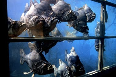 Los peces asesinos eran, en realidad, marionetas de goma