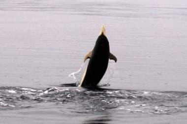 El delfín liso es el único de su especie en el hemisferio sur que no tiene aleta dorsal