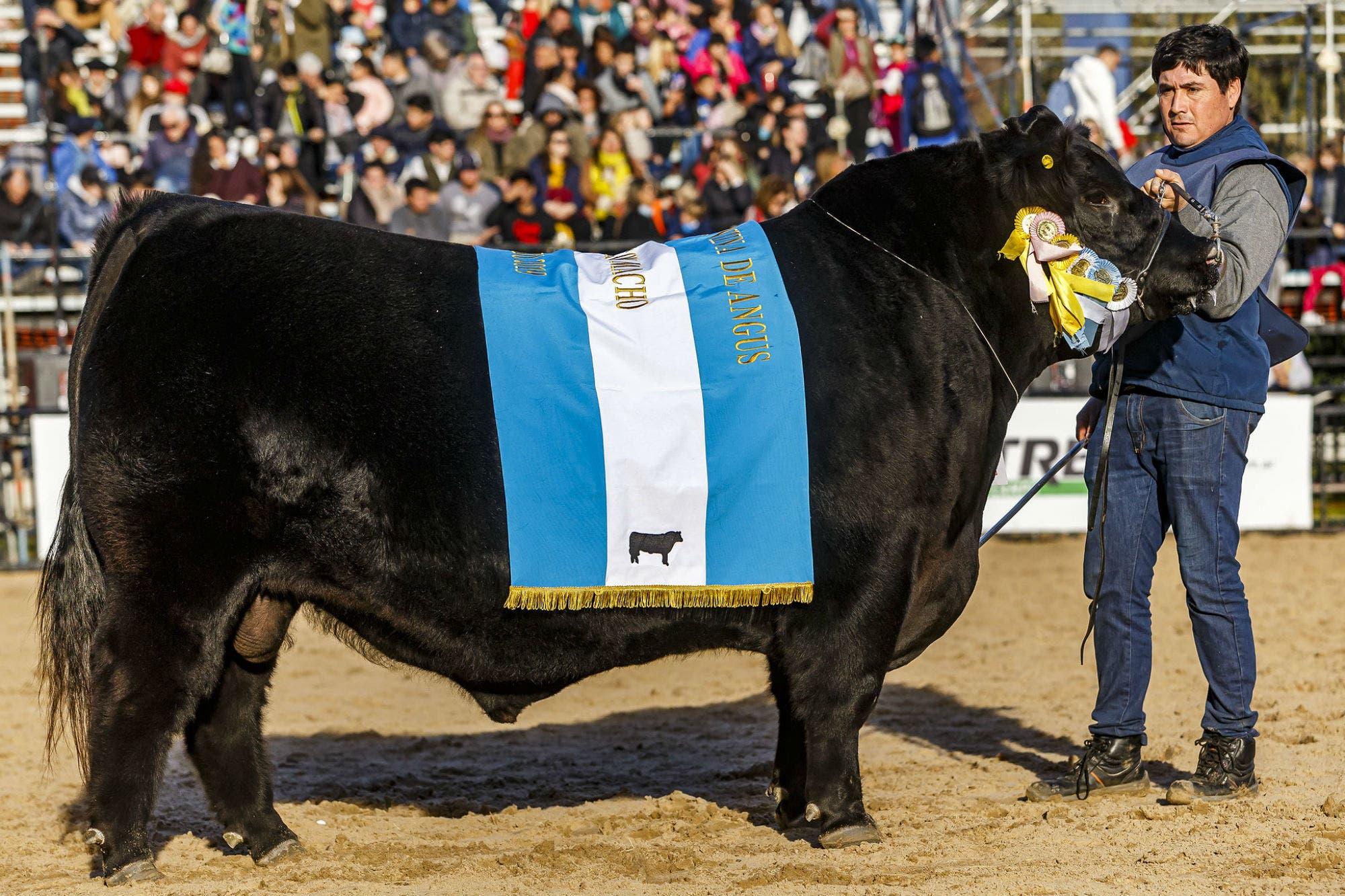 Exposición Rural. Un toro de Los Lazos, Gran Campeón Macho Aberdeen Angus