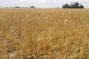 Un trigo que estaba para cosechar en Villa Cañas
