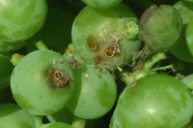 El temor de los productores es que el programa no puede ser interrumpido si se pretende neutralizar el avance de la plaga
