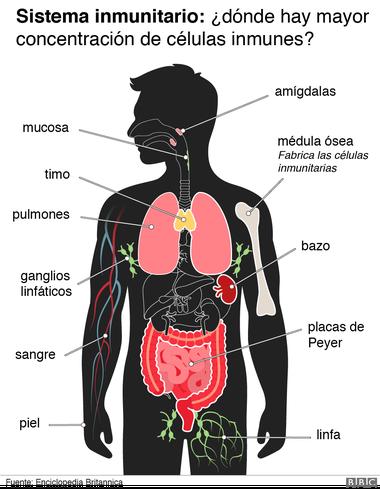 Sistema inmunitario: ¿dónde se produce la mayor concentración de células inmunes?