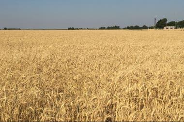 Según la industria molinera, que el año pasado exportó casi un millón de toneladas de harina equivalente trigo, el 80% de su costo lo representa la compra del cereal