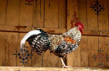 Gallo liberado en el monasterio Wangdue Phodrang Dzong. En Bután, los animales liberados no se pueden matar ni encerrar.