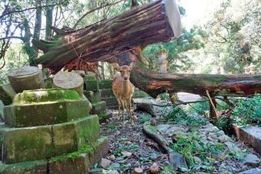 Un venado asustado se encuentra cerca de un árbol caído por la tormenta en el santuario Kasugataisha en Nara