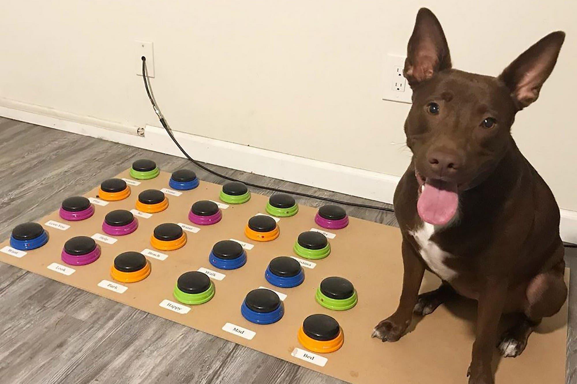 Más que ladridos: una perra aprende a expresarse con una botonera con sonidos