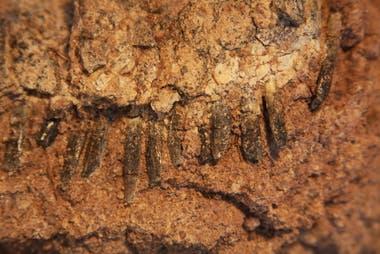 Mandíbula con dientes del Bajadasaurus