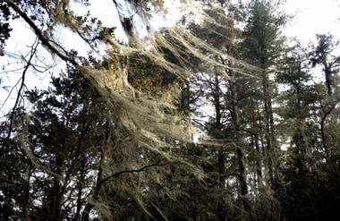 Pinos azules del Himalaya, en el camino de subida al monasterio de Takshang. Esta especie (Pinus wallichiana) se caracteriza por tener piñas cilíndricas.