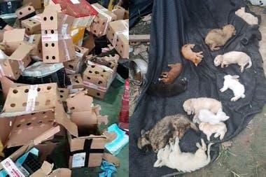 Apenas un 5% de los animales sobrevivieron al encierro y fueron rescatados