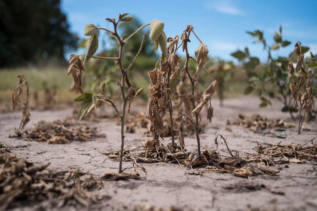 Hoy el USDA publicará su informe mensual de estimaciones agrícolas globales, y el mercado espera que reduzca los volúmenes previstos de las cosechas de soja y de maíz