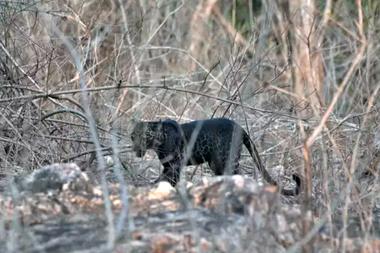 Entre la vegetación, el majestuoso leopardo negro en la reserva Tadoba de la India.
