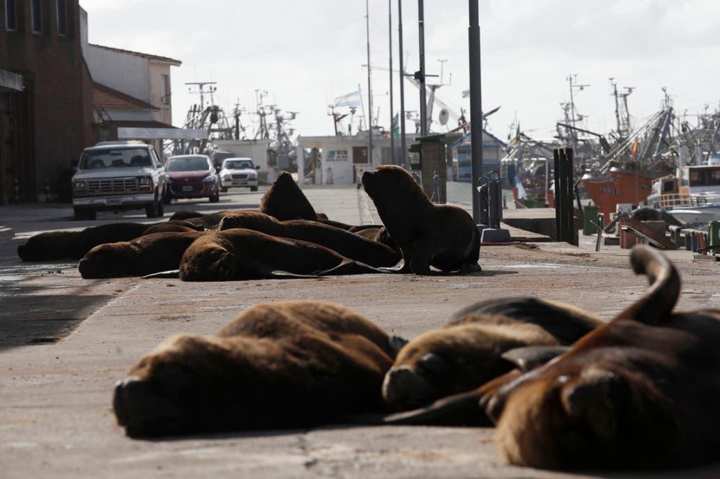 Coronavirus: sin turistas, los lobos marinos coparon el puerto de Mar del Plata