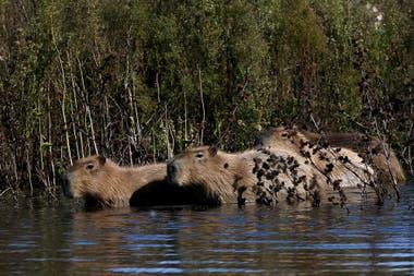 Los carpinchos se animan a avanzar más allá de su hábitat y espacio de confort cotidiano en la Laguna de los Padres, durante la cuarentena por la pandemia de coronavirus