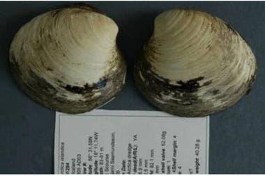 Esta es Ming, la almeja que tenía 507 años al momento de morir