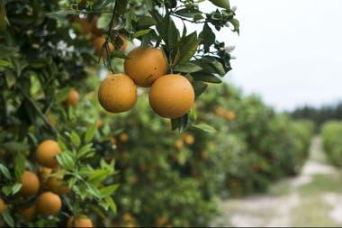 La actividad citrícola alberga más de 100.00 puestos de trabajo