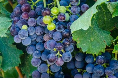 El 95% de la producción de los viñedos orgánicos se vende al exterior