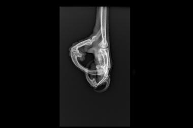 Una de las radiografías que le tomaron al ave durante su rehabilitación