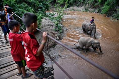 """Explotados en parques de atracciones o en """"santuarios"""", los 3000 elefantes empleados en el turismo se quedaron paralizados desde el cierre súbito de estos centros a mediados de marzo"""