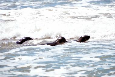 """Con la satisfacción de volver a """"casa"""", los tres lobos marinos se abren paso entre las primeras olas"""