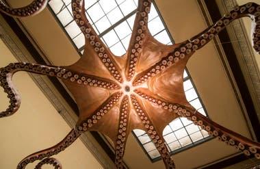Un pulpo expuesto en las alturas del Museo de La Plata.