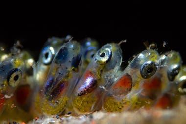 """Primer Premio: """"Huevos de pez payaso"""" tomada en Tulamben, Indonesia por Paolo Isgro"""