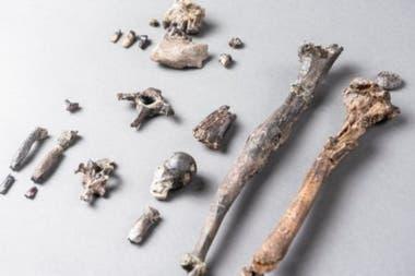 El esqueleto más completo hallado en Bavaria (con 21 huesos) es de un Danuvius macho y tiene una altura de cerca de un metro, similar a la de un bonobo actual