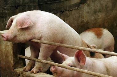 China podría perder más de 150 millones de cerdos por la enfermedad
