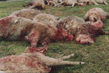 Ovejas atacadas por los perros asilvestrados en la zona de Río Grande