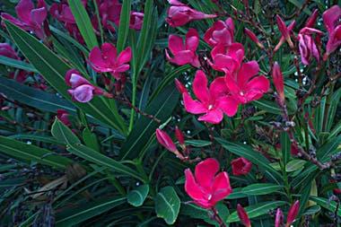 9 plantas muy venenosas que probablemente tengas en tu for Laurel de jardin